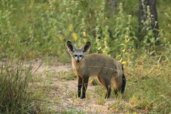 bat-eared-fox-32
