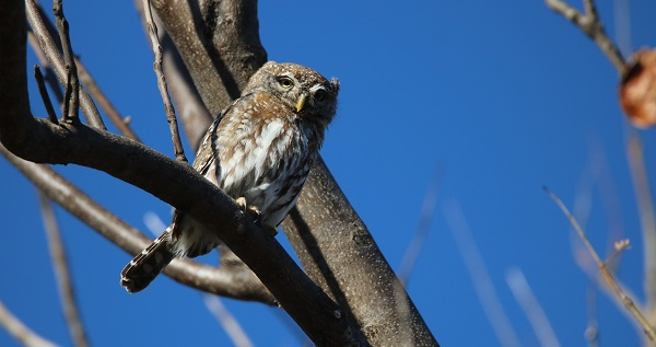 BUSH FACTS #25 – PEARL SPOTTED OWLET