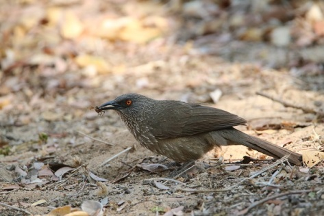 Arrow Marked Babbler (23)